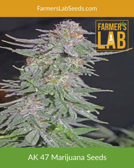 AK-47 Marijuana Seeds for Sale