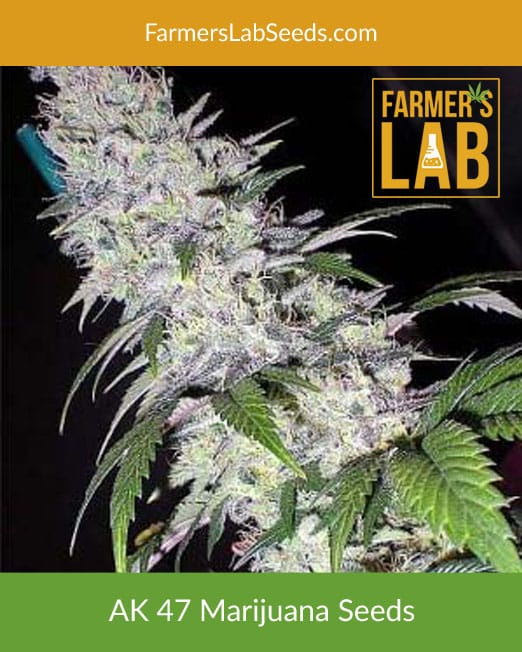 Buy AK-47 Cannabis Seeds