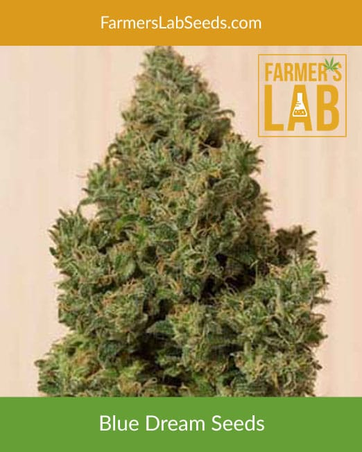 Blue Dream Weed Seeds for Sale