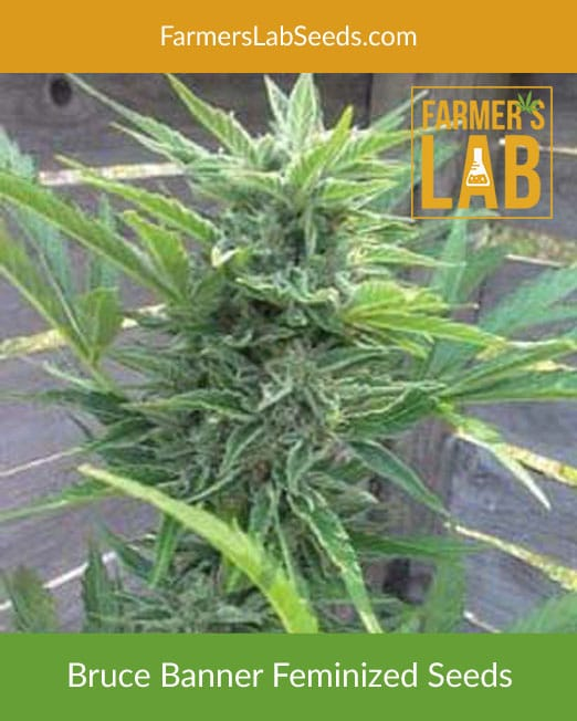 Cannabis Seeds for Sale
